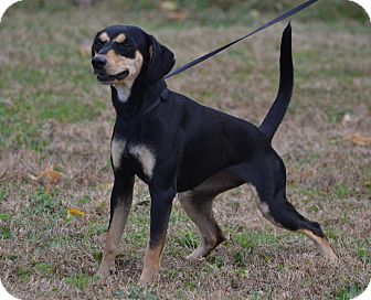 Beagle/Dachshund Mix Dog for adoption in Lebanon, Missouri - Charlotte