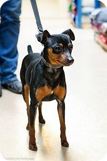 Miniature Pinscher Dog for adoption in Rigaud, Quebec - Dino