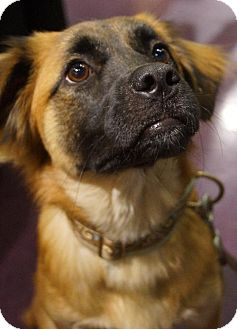 Australian Cattle Dog/Lhasa Apso Mix Dog for adoption in Holly Springs, North Carolina - Teddy