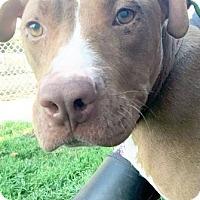 Adopt A Pet :: Delilah - Manteca, CA