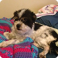 Adopt A Pet :: Nova - San Angelo, TX