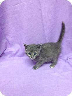 Domestic Shorthair Kitten for adoption in Orlando, Florida - Veruga