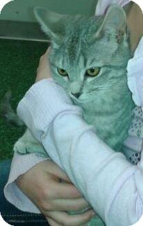 Domestic Shorthair Kitten for adoption in Harrisburg, North Carolina - Natalie