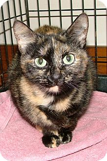 Domestic Shorthair Cat for adoption in Chattanooga, Tennessee - Robbins