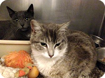 Domestic Shorthair Cat for adoption in Brooklyn, New York - Suzi