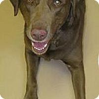 Adopt A Pet :: Sara Bear - Worcester, MA