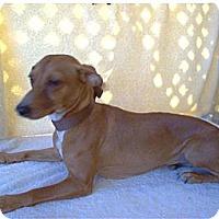 Adopt A Pet :: Zepp (Zeplin) - Tucson, AZ