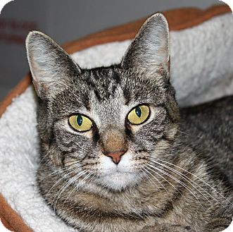 Domestic Shorthair Cat for adoption in North Branford, Connecticut - Gracie