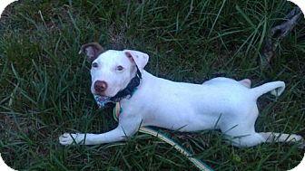 Pit Bull Terrier Mix Dog for adoption in Satellite Beach, Florida - Xena