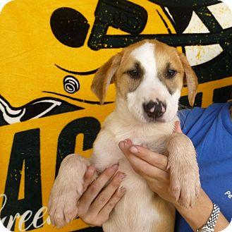 German Shorthaired Pointer/Labrador Retriever Mix Puppy for adoption in Oviedo, Florida - Aeriel