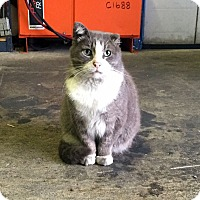 Adopt A Pet :: Beefcake - Barn Cat - Lombard, IL