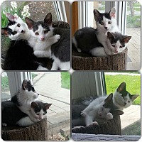 Domestic Shorthair Kitten for adoption in Whitby, Ontario - Figaro and Freckles