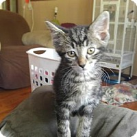 Domestic Shorthair Cat for adoption in Minneapolis, Minnesota - Classified  aka classy