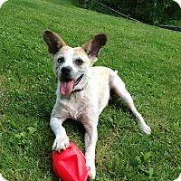 Adopt A Pet :: Biscuitt - Sparta, NJ