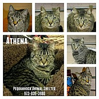 Domestic Mediumhair Cat for adoption in Pompton Plains, New Jersey - Athena