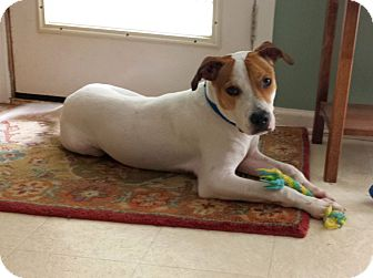 Terrier (Unknown Type, Medium)/Hound (Unknown Type) Mix Dog for adoption in Knoxville, Tennessee - Sparky