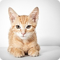 Adopt A Pet :: Seamus - New York, NY