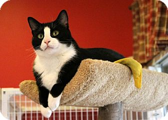 Domestic Shorthair Cat for adoption in Gaithersburg, Maryland - Moonshadow
