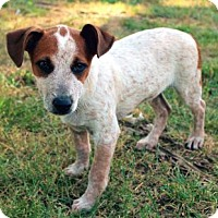 Adopt A Pet :: PUPPY STUART - Salem, NH