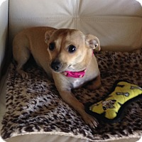 Adopt A Pet :: Coco-Chanel - Gilbert, AZ