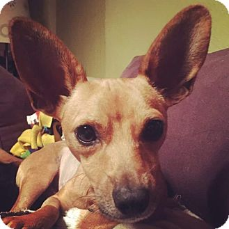 Chihuahua Mix Dog for adoption in Riverview, Florida - Tucker