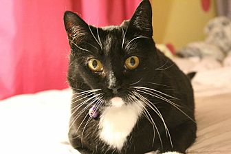 Domestic Shorthair Cat for adoption in Whittier, California - Braelyn