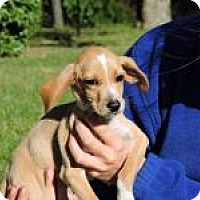 Labrador Retriever/Hound (Unknown Type) Mix Puppy for adoption in Berkeley Heights, New Jersey - Winston