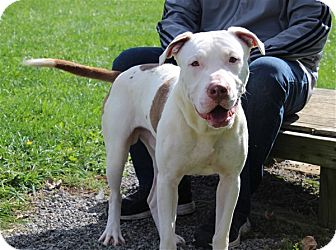 American Bulldog Mix Dog for adoption in Elyria, Ohio - Beast