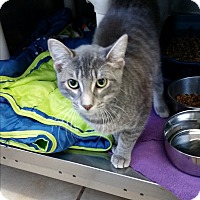 Adopt A Pet :: Bellissimo - Chippewa Falls, WI