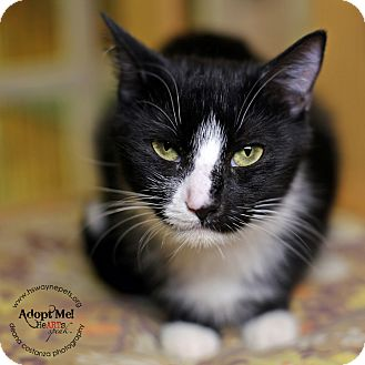 Domestic Shorthair Cat for adoption in Lyons, New York - Aberia
