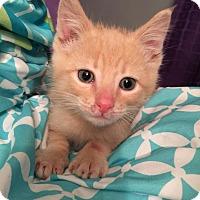 Domestic Shorthair Kitten for adoption in Geneseo, Illinois - Mateo