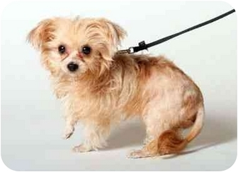 Yorkie, Yorkshire Terrier/Maltese Mix Puppy for adoption in West Palm Beach, Florida - Luna