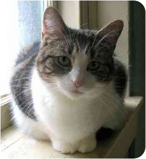 Domestic Shorthair Cat for adoption in Plainville, Massachusetts - Rascal