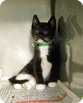 Domestic Shorthair Kitten for adoption in Dover, Ohio - Solomon