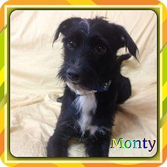Monty Adopted Dog Hollywood Fl Scottie Scottish