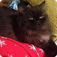 Adopt A Pet :: Audrey - Beverly Hills, CA