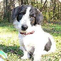 Adopt A Pet :: Snoopy - Mocksville, NC
