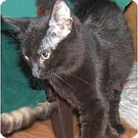 Adopt A Pet :: Black Licorice - Dallas, TX