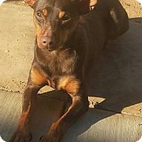 Adopt A Pet :: Champ - Santa Ana, CA