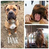 Adopt A Pet :: Tank - Vancouver, WA