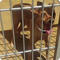 Adopt A Pet :: Jersey - Las Vegas, NV