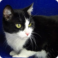 American Shorthair Cat for adoption in Jackson, New Jersey - Flower