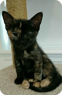 Domestic Mediumhair Kitten for adoption in Livonia, Michigan - Pebbles
