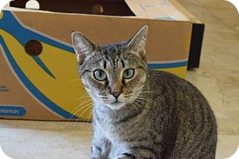 Domestic Shorthair Cat for adoption in West Palm Beach, Florida - Penelope