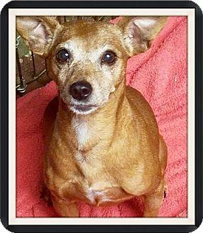Miniature Pinscher/Chihuahua Mix Dog for adoption in Kenosha, Wisconsin - Candi