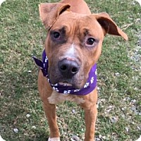 Pit Bull Terrier Mix Dog for adoption in Greensboro, North Carolina - Charger