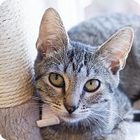 Domestic Shorthair Kitten for adoption in Los Angeles, California - Belvedere