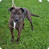 Adopt A Pet :: Macie - Akron, OH