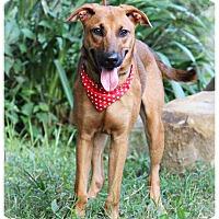 German Shepherd Dog/Labrador Retriever Mix Puppy for adoption in San Mateo, California - Keanu