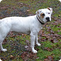 Boxer/American Staffordshire Terrier Mix Dog for adoption in McKenna, Washington - Miss Indy